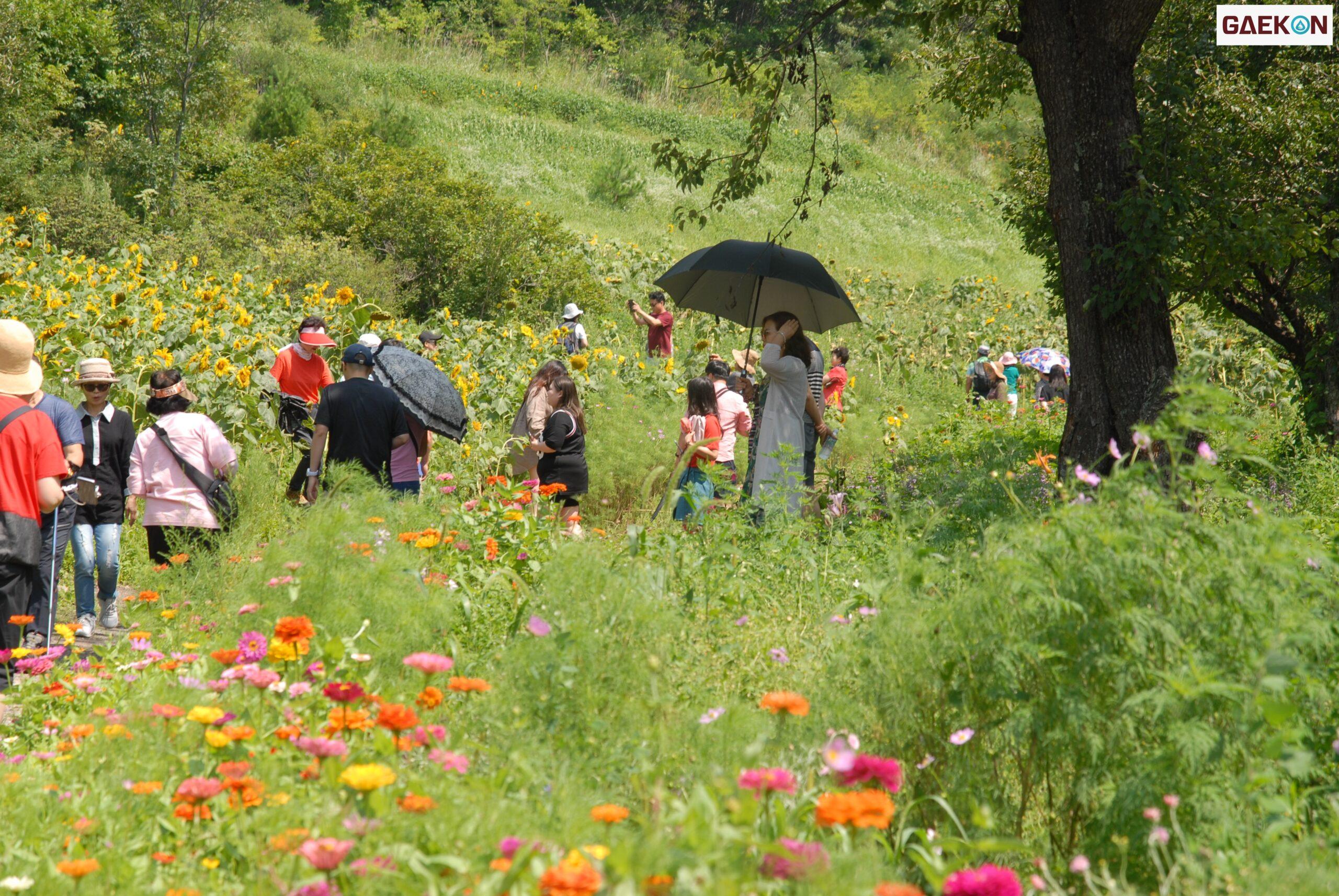 Festival Bunga Matahari Taebaek Siap Warnai Harimu Gaekon