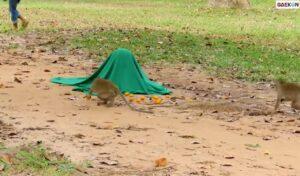 Cowok Ini Usili Monyet, Ngeprank Pakai Boneka Macan