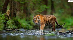Harimau Liar Mendadak Nongkrong Pinggir Jalan, Bikin Keder Pengendara Mobil
