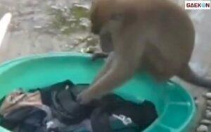 Monyet Ini Lebih Rajin Cuci Baju Daripada Anak Rebahan