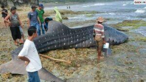 Terdampar Di Pantai Selatan Tasikmalaya, Bangkai Hiu Tutul Ini Berbobot 3 Ton