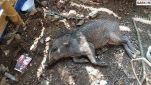 Peneliti LIPI Pastikan Babi Yang Viral Itu Babi Hutan Bukan Babi Ngepet