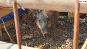 Takut Menghilang Karena Tubuh Terus Mengecil, Warga Bunuh Babi Ngepet Dan Dikubur Secara Terpisah