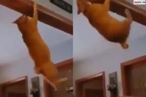 Bikin Pemiliknya Kaget, Kucing Ini Ternyata Jago Akrobat