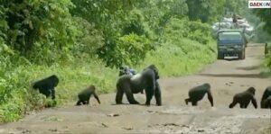Sekawanan Gorila Sibuk Melintas Di Tengah Jalan, Pengguna Jalan Terpaksa Berhenti