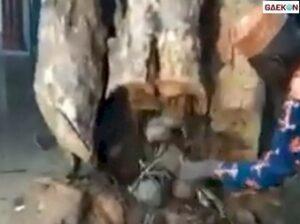 Diduga Disembunyikan Jin, Ratusan Teko Ini Tersimpan Di Dalam Batang Pohon Besar