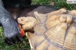 Viral Video Seekor Simpanse Rela Berbagi Makanan Dengan Kura-Kura