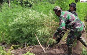 20 Ribu Pohon Ganja Di Aceh Besar Dimusnahkan