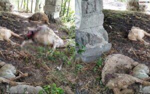 Lima Ekor Kambing Di Banyuwangi Mati Misterius, Taman Nasional Alas Purwo Ungkap Penyebabnya