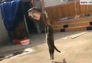 Bikin Ngakak, Kucing Ini Bergelantungan Makan Ikan