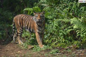 1 Ekor Harimau Terkam Kaki Penebang Kayu Di Riau