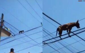 Tak Tau Caranya Turun, Anjing Ini Tersangkut Di Atas Kabel Listrik