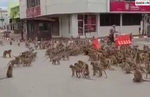 Diduga Cari Makan, Ratusan Monyet Ini Lari Ke Tengah Jalan Sampai Bikin Macet