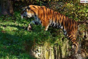 Tewas Mengenaskan, Warga Kota Dumai Ini Diterkam 2 Ekor Harimau