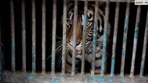 2 Harimau Di Ragunan Positif Covid-19, Pengelola Tolak Swab PCR Untuk Hewan Lainnya