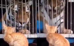 Digertak Kucing, Harimau Ini Langsung Ketakutan