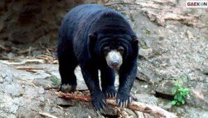 Kakinya Terluka Mendapat 50 Jahitan, Lansia Di Sumbar Ini Diserang Beruang Madu