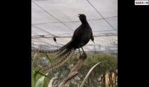 Viral, Seekor Burung Nyanyi Mirip Suara Tangisan Bayi