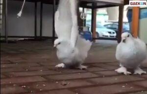 Bak Aktor Laga, Burung Merpati Ini Mendadak Lakukan Gerakan Salto
