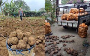 Fantastis! Petani Di Kalbar Tanam Umbi-Umbian, Sekali Panen Raup Hasil Hingga Rp 500 Juta Lebih
