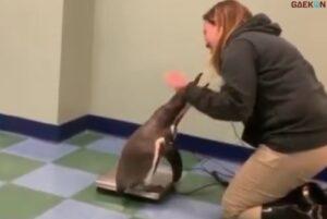 Bikin Gemas, Sejumlah Penguin Ini Antre Ditimbang Petugas Kebun Binatang