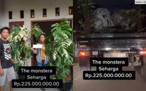 Rela Rogoh Gocek Ratusan Juta, Wanita Asal Solo Ini Beli Tanaman Monstera Seharga Rp 225 Juta